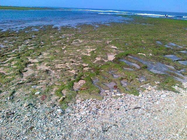 Air yang surut dipagi hari meninggalkan karang - karang yang diselaputi lumut