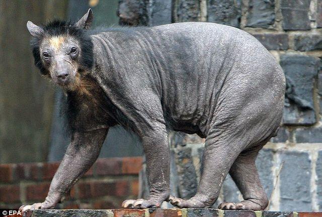 bald_bear_03