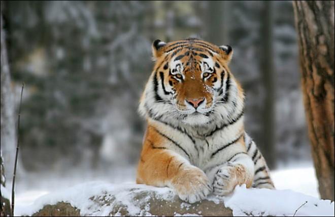 inside right amur tiger by Sergei Belsky